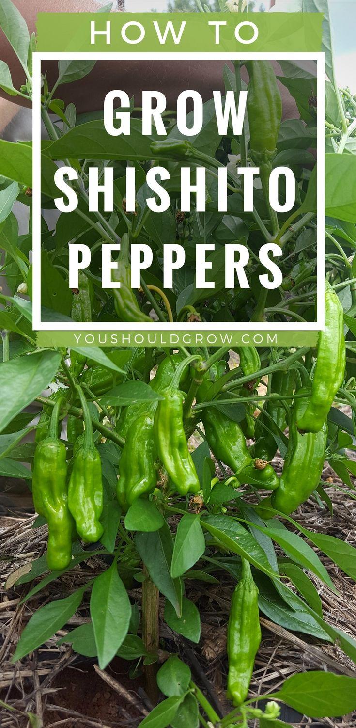 Backyard vegetable garden: how to grow shishito peppers, organic vegetable gardening tips