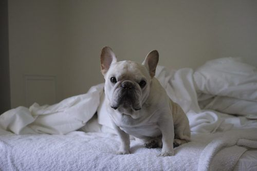 Image result for cbd dog treats french bulldog