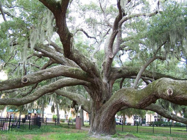Safety Harbor Florida's 500 Year Old Live Oak Tree   See ...