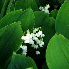 Liljekonval hvid blomst