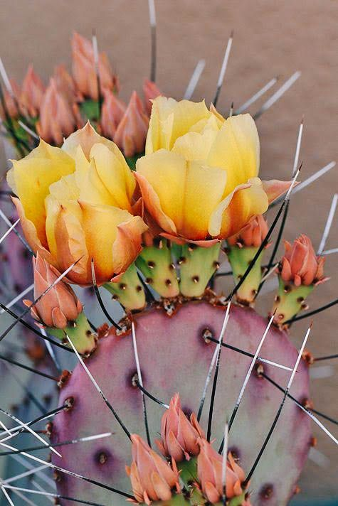 17 Best ideas about Desert Plants on Pinterest | Desert flowers ...