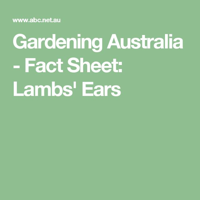 Gardening Australia - Fact Sheet: Lambs' Ears Ground cover