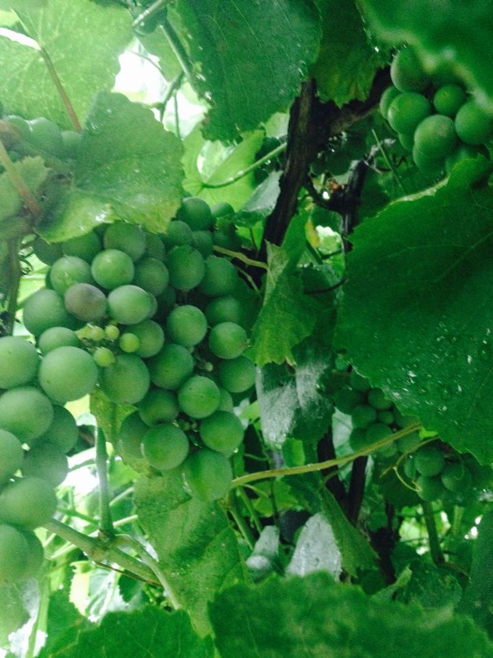 Grapes in my garden