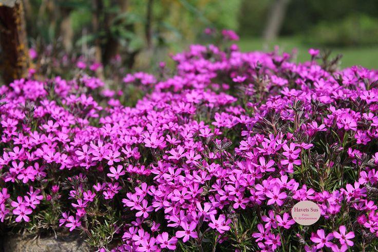 purple purpleflowers lilla blomster minhave havets sus havetssus