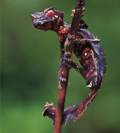 If you like this pin visit http://iphone-mania.very-good-idea.com for more incredible funny stuff!: Animals, Satanic Leaf, Creature, Dragon, Leaf Tailed Gecko, Leaves, Geckos