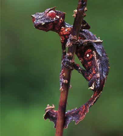 Even more satanic leaf-tailed gecko - ImgurLizard, Baby Dragon, Real Life, Leaf Tail, Dragons, Leaftail Geckos, Satan Leaftail, Leaves, Animal
