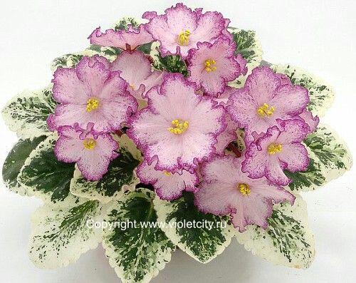 Strawberry Daiquiri (Sorano).  Простые средне-розовые звезды с темно-розовым краем и темно-розовым фэнтези на каждом лепестке. Средне-зеленая розетка с пестролистностью цвета слоновой кости. (Чужое фото)