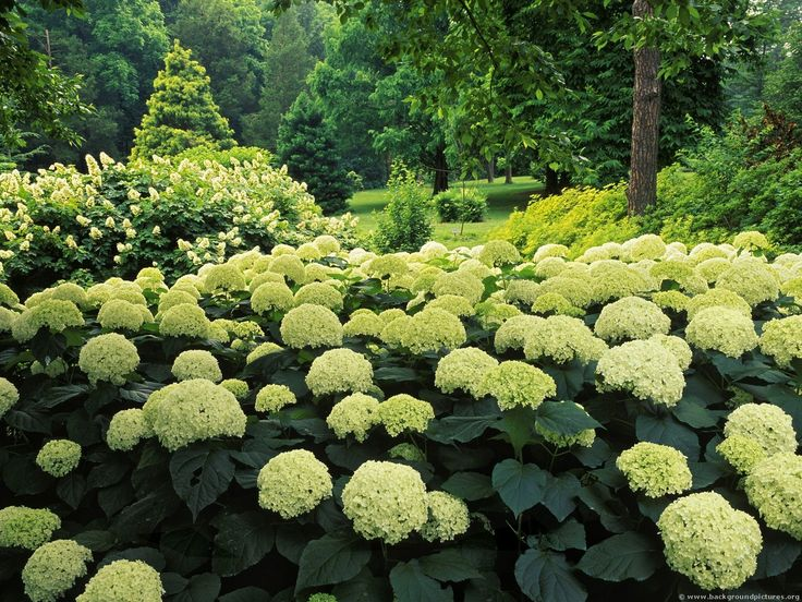 hydrangea garden in Clermont,Kentucky