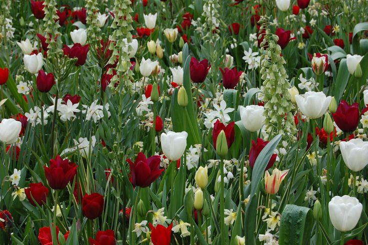 Tulips - Keukenhof Netherlands 2015