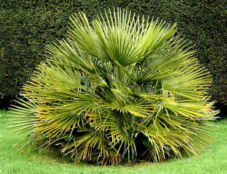 Les 25 meilleures id es concernant palmier trachycarpus - Type de palmier ...