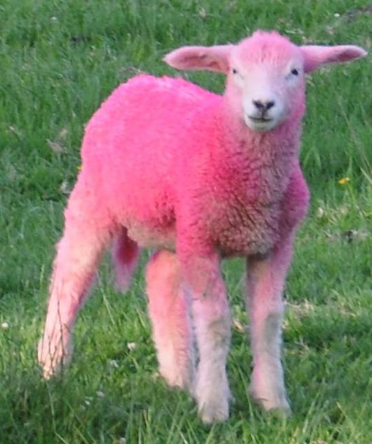 17 Best images about Pink Sheep and Purple Shep on ...
