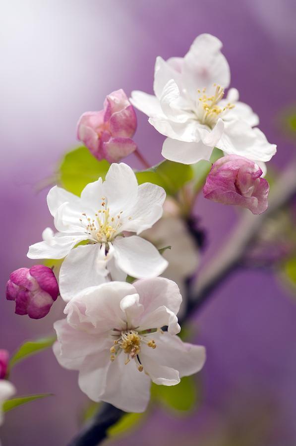 ~~Apple (malus Domestica) Blossom by Maria Mosolova~~