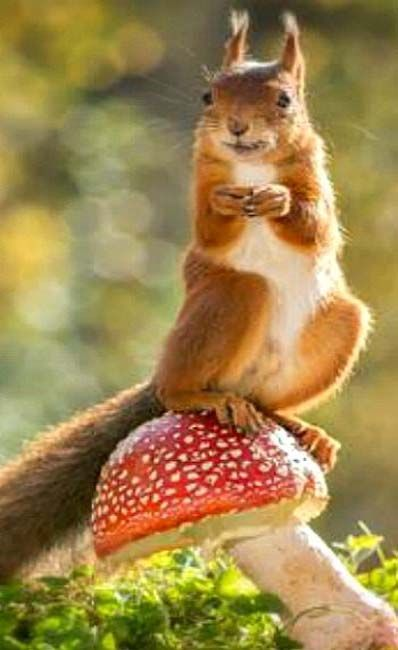 red squirrel standing on mushroom