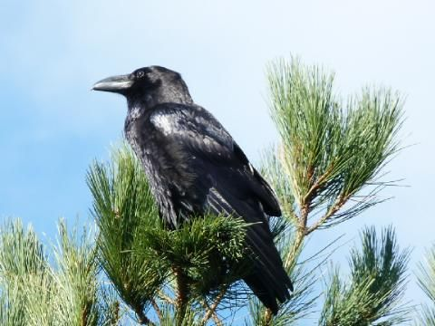 Raven: on the up | Nature Notes from Dorset