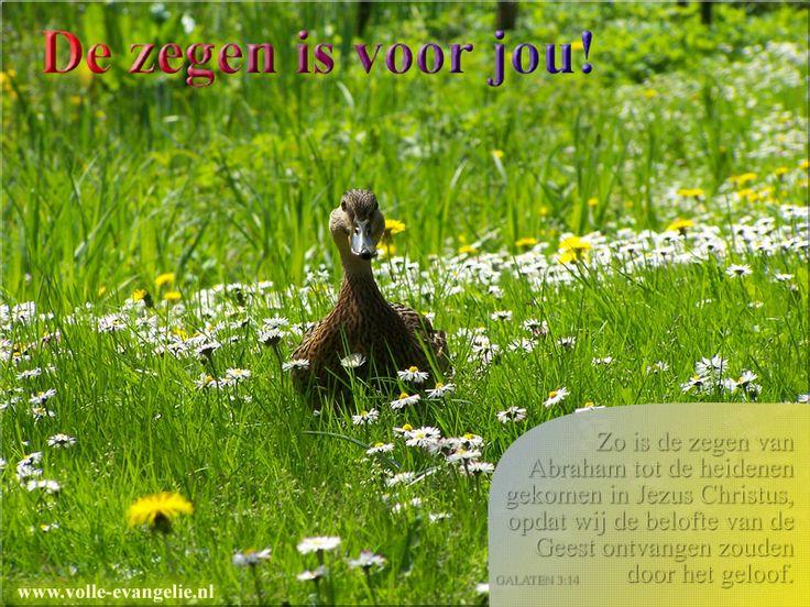 Gods zegen is voor jou - eend in madeliefjes veld