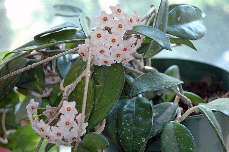 комнатное растение вьющееся с плотными листьями: 18 тыс изображений найдено в…