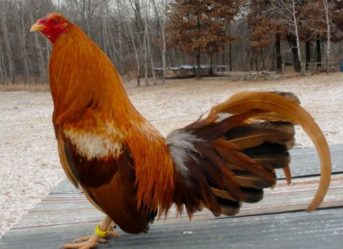 Pumpkin Hulsey Game Fowl     so excited about my new addition today