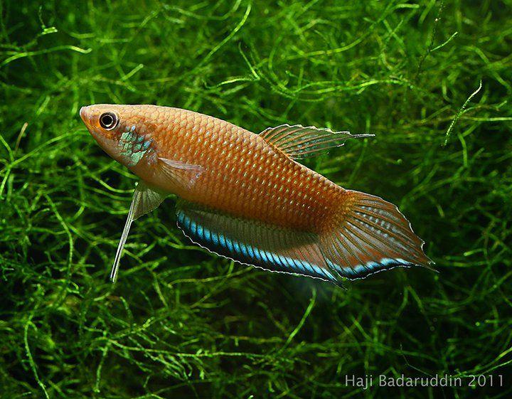 405 best wild bettas images on pinterest for Wild betta fish