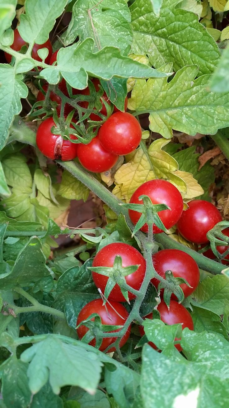 How much to water tomatoes in containers - 25 Best Ideas About Patio Tomatoes On Pinterest Growing Tomatoes In Containers Patio Gardens And Tomato Farming