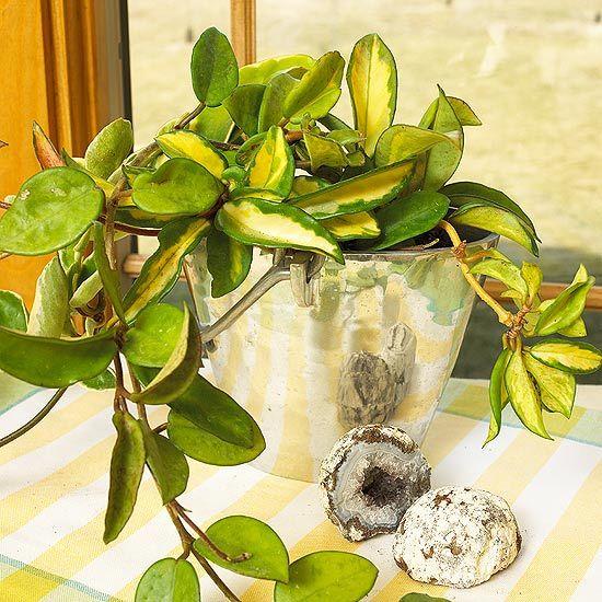 Best 25+ Hoya Plants Ideas On Pinterest