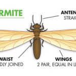 How to get rid of termite swarmers