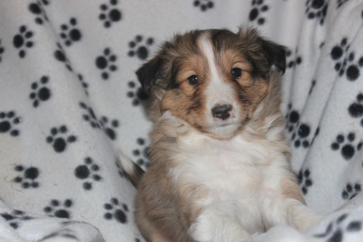 Sheltie Puppies For Sale - Here is another sheltie puppy posted at http://www.network34.com