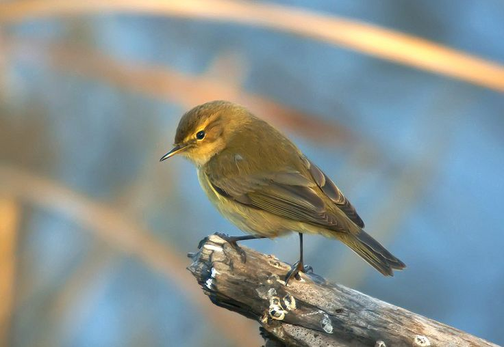 Listen to Chiffchaff on british-birdsongs.uk, which is a comprehensive collection of English bird songs and bird calls.