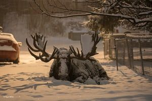 Settled in by Ryan Miller, US'Moose are not strangers to the city of Anchorage, Alaska. This big bull is known as Hook, and Ryan knew from the previous year that he would be shedding his magnificent antler crown in the coming days. Ryan captured this scene in heavy snowfall as the rest of the city slept, and less than an hour later Hook shed his first antler.'