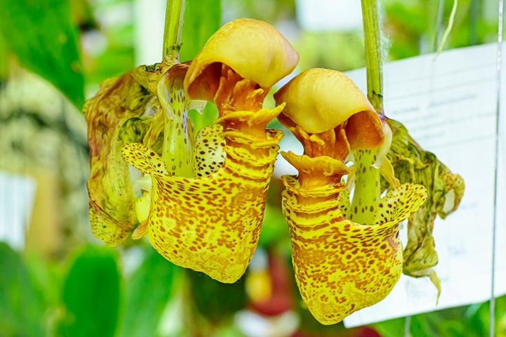 Nepenthes or tropical pitcher plants or monkey cups