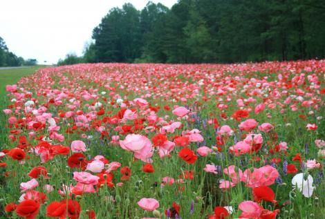 Beautiful Flower FarmBible Study, Beautiful Flower, Fields Of Flower, The Colors Red, Fields Of Dreams, Flower Gardens, Flower Photos, Flower Fields, Flower Farms