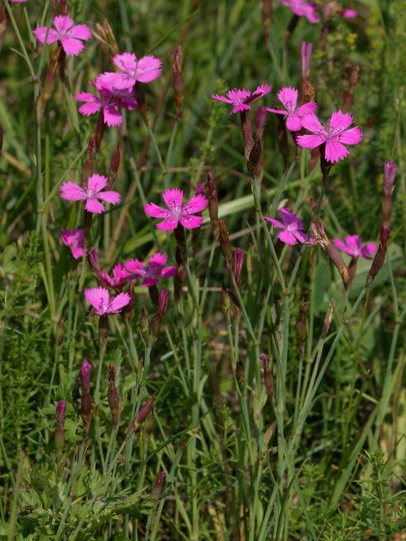 Ketoneilikka - Dianthus deltoides -kohokkikasvit-vampula-fi-Jari Taivainen