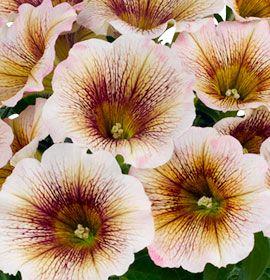 Petunia Mochaccino #pohlmansnursery #livingcolour #gardening #Australia