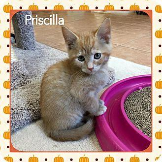 1/2016♥♡♥♡Atco, NJ - Jersey State Animal Rescue, Domestic Shorthair. Meet Priscilla, a kitten for adoption. http://www.adoptapet.com/pet/13889646-atco-new-jersey-kitten