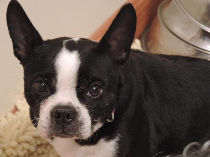 Meet Bonnie, a Petfinder adoptable Boston Terrier Dog | Jackson, NJ | Bonnie is a 5 year old Boston Terrier who was used as a breeding dog on an Amsh farm making puppies...