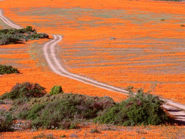 Road Through vadvirágok, Namaqualand, Dél-Afrika
