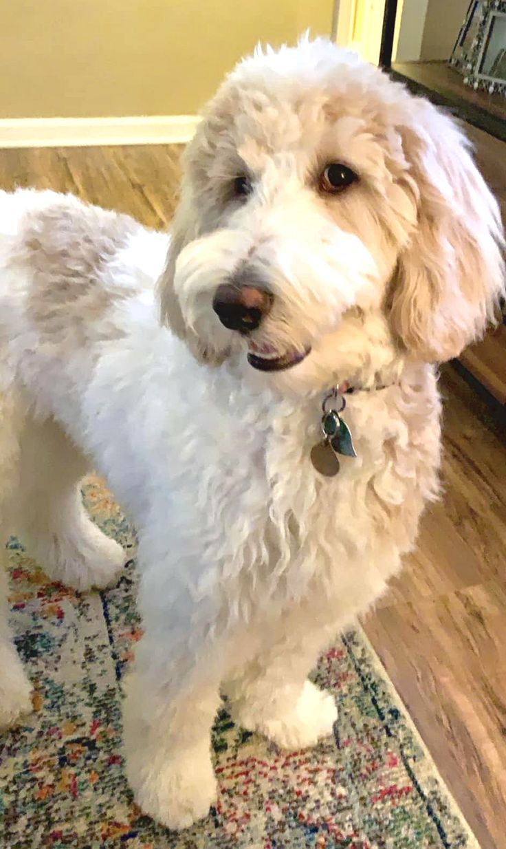 Apricot and white parti goldendoodle smiling