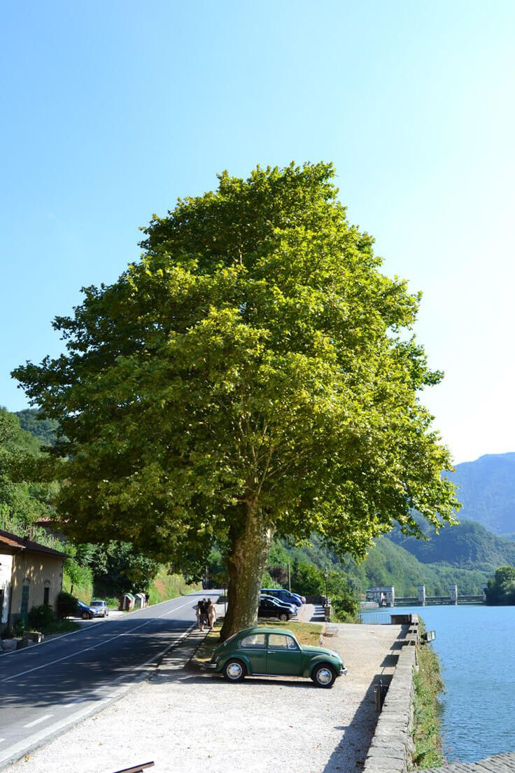 maggiolino sotto l'albero