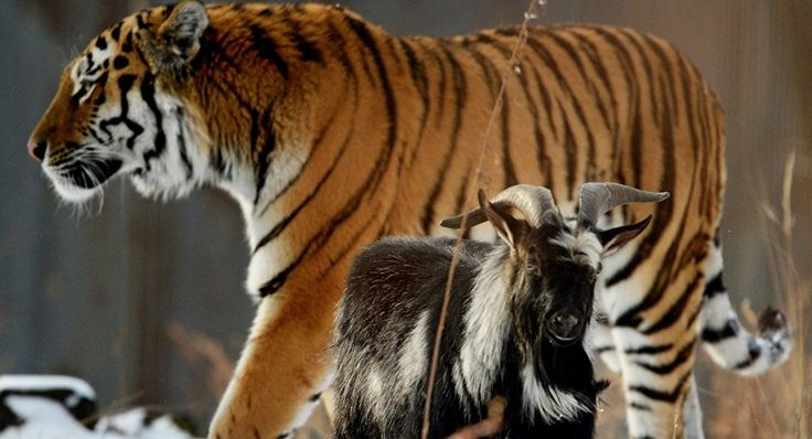 Amur, a Siberian tiger, and a goat called Timur are seen here in an enclosure at the Primorye Safari Park