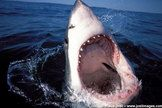 Image Gallery: Great White Sharks