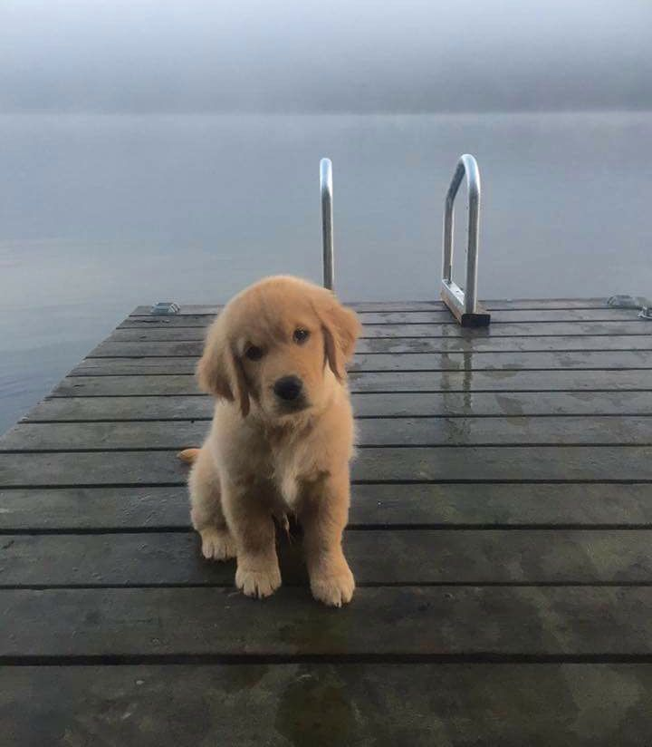This is my brother's new Golden Retriever puppy