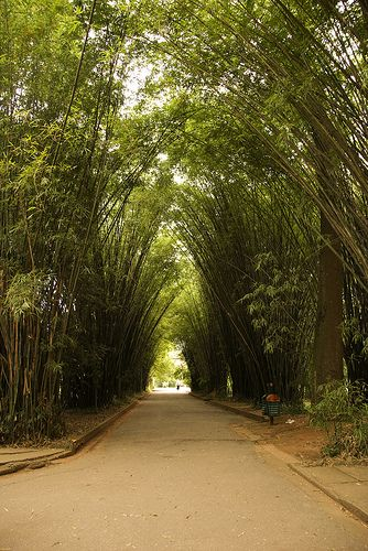 parque ibirapuera, sao paulo. Near my last house in Brasil. At my first house, in the Brooklyn neighborhood, two sides of our property were bounded by bamboo like this. Pretty, but populated by enormous venomous spiders which occasionally wandered into the house.