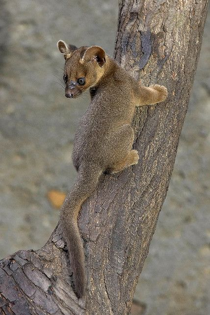 Young fossa this is so cute I don't even know what to do. I've never even heard of a fossa without a Mu in front of it.