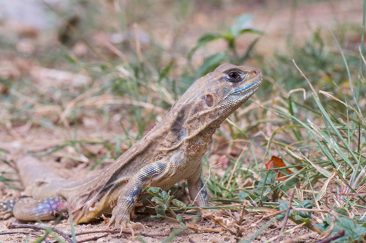 Khao Sam Roi Yot National Park Animals | File:Leiolepis belliana, common butterfly lizard - Khao Sam Roi Yot ...
