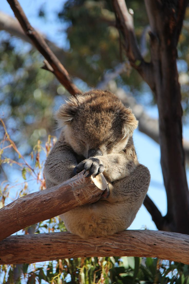 Colossus the koala having an afternoon nap at Werribee Open Range Zoo.  You can visit Colossus and Bella in Australian Journey at Werribee Open Range Zoo daily 9am – 4.30pm.