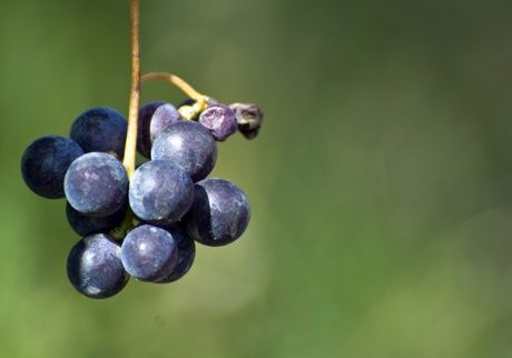 Bunch of grapes #food #piemonte #italy #provinciadicuneo