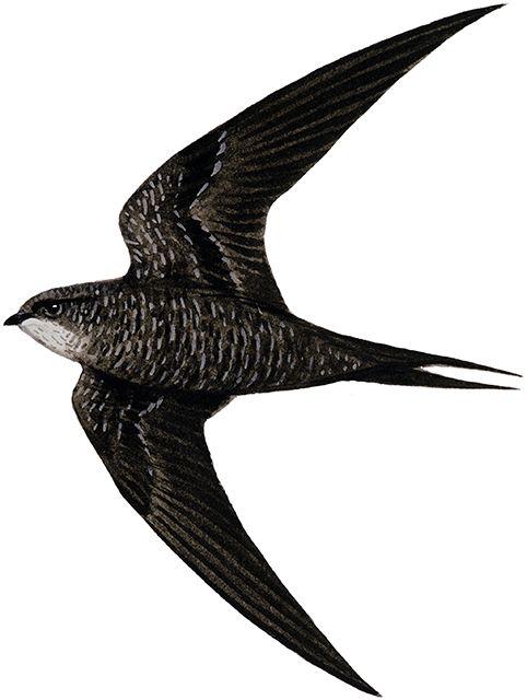 アマツバメ 日本の鳥百科 サントリーの愛鳥活動