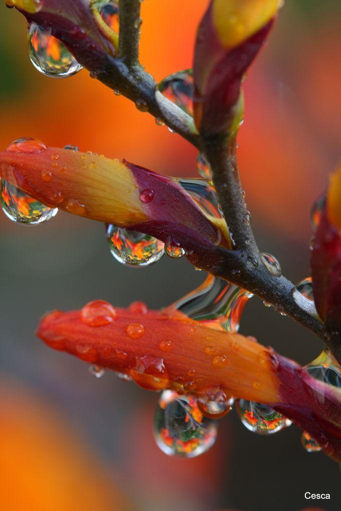 Croscomia after the Rain