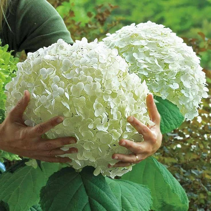 Tips For Growing Hydrangeas...!!