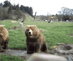Waving bears/agitant ours
