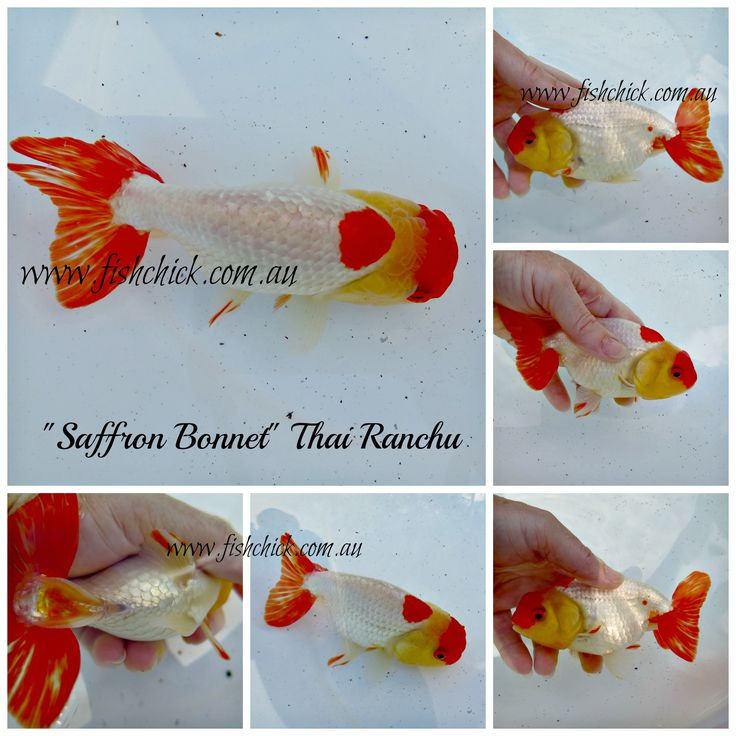Beautiful Thai Ranchu with fabulous colour. Contact fishchick@gmail.com for details